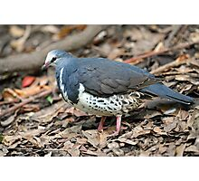 The Wonga Pigeon. Queensland, Australia. Photographic Print