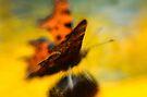 Flutter  by Kasia-D