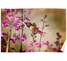 My First Rufous this Year  Poster