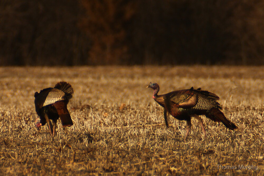Turkeys in Golden Field by Thomas Murphy