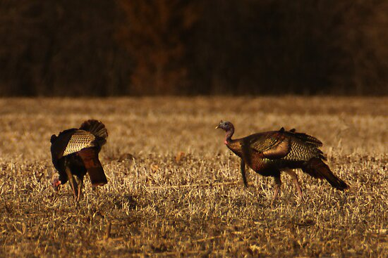 Turkeys in Golden Field by Thomas Murphy