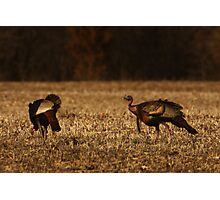 Turkeys in Golden Field Photographic Print