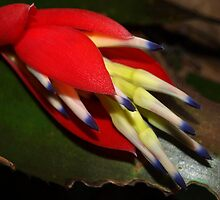 Sultry bromeliad bloom by ♥⊱ B. Randi Bailey