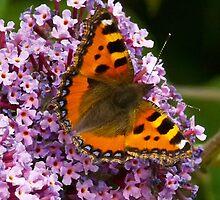 Small  Tortoiseshell Butterfly by Glen Allen