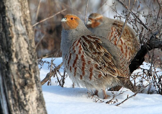 Habitat / Gray Partridge by Gary Fairhead