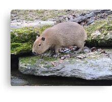 Baby Capybara Canvas Print