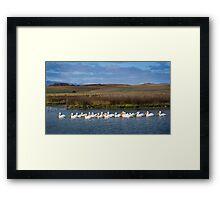 white pelicans in the Baylands Framed Print