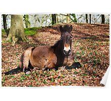 Wild Pony ~ Killerton, Devon Poster