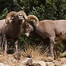 Big Horn Sheep  by jeff welton