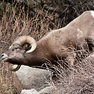Bighorn Sheep 1 by jeff welton