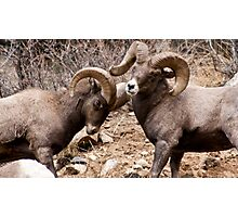 Bighorn sheep 4 Photographic Print