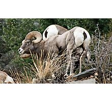 bighorn Sheep 5 Photographic Print