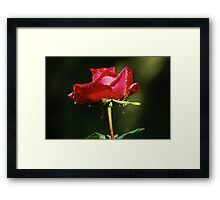 Wet single red rose with water droplets on dark green background Framed Print