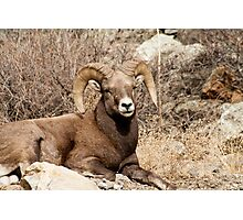 Bighorn Sheep 10 Photographic Print