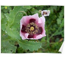 Cruciform Opium Poppy Poster