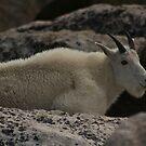 Mountain Goat by jeff welton