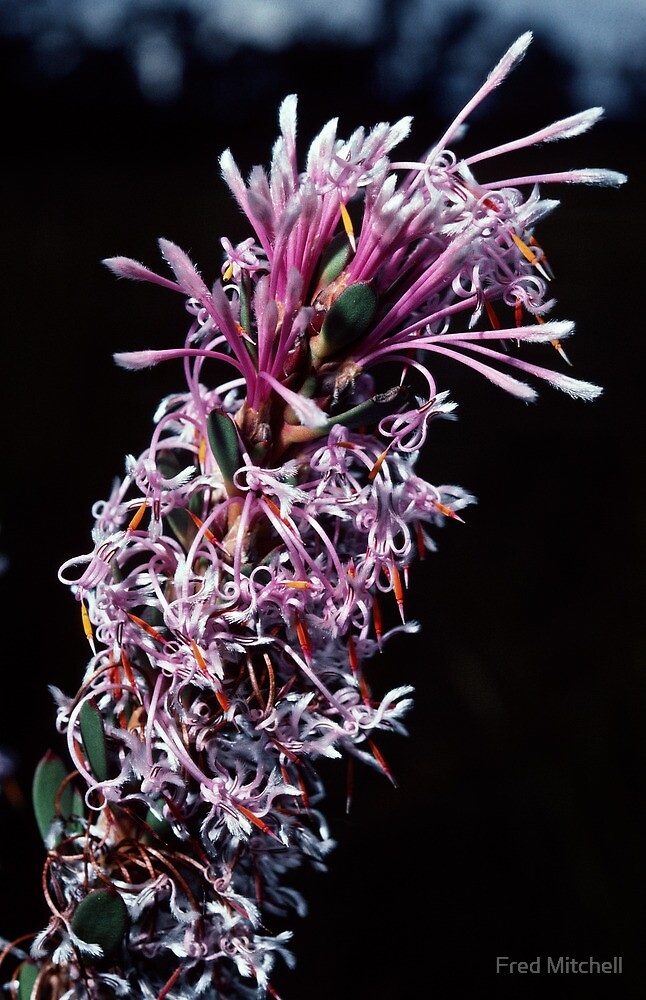 Proteaceae – Isopogon or Petrophile Pink white florets nr Denmark Australia 19820828 0043  by Fred Mitchell