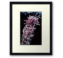 Proteaceae – Isopogon or Petrophile Pink white florets nr Denmark Australia198208280043  Framed Print