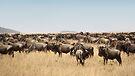 Wildebeest Migration, Maasai Mara, Kenya by Carole-Anne