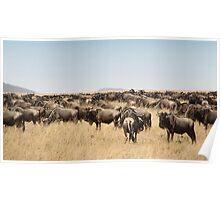 Wildebeest Migration, Maasai Mara, Kenya Poster