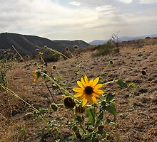 Sunflower by Amy Francen