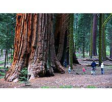 Sequoia Trees Photographic Print