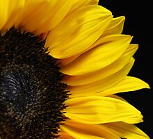 Sunflower on Black Background by MindyLinford