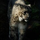 Snow Leopard in the shadows by James Stratford