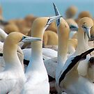 GANNET BEAUTY - CAPE GANNET - {Morus capensis}, by Magaret Meintjes