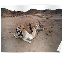camels in the Sinai desert Poster
