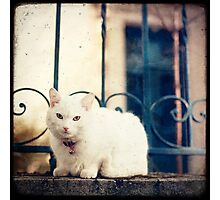 White Cat on Parapet Photographic Print