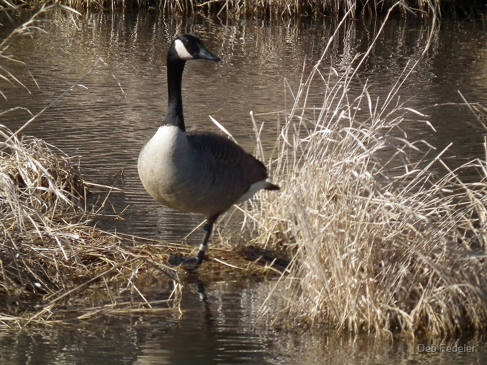 Patiently Waiting - Canada Goose at Sweet Marsh by Deb Fedeler