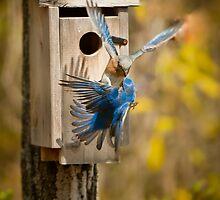 Bluebird Kiss by Joe Jennelle