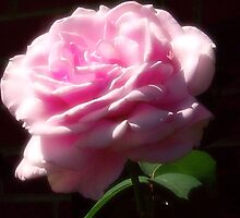 Pretty Pink Rose by James Brotherton
