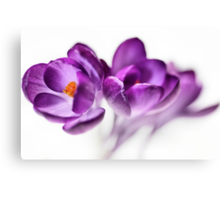Serene Crocus... (2) Canvas Print