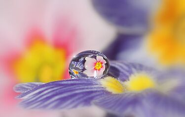 Pink primrose dew drop by Lyn Evans
