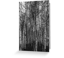 Grove of birch trees Greeting Card