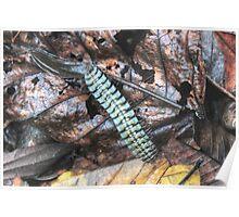 Armored Millipede -    Pacaya-Samiria Reserve, Peru Poster