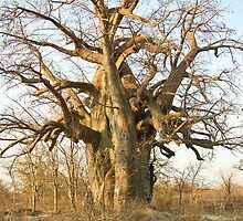 baobab tree by Anne Scantlebury