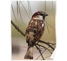 House Sparrow (Male~Breeding Plumage) Poster