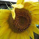 Sunflower Detail by Jackson  McCarthy