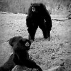 Siamangs by tarnyacox
