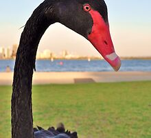 Naughty black swan by Keri Buckland