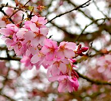 blossoms by kevin  caldwell