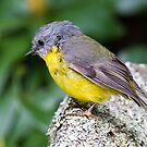 Eastern Yellow Breasted Robin by Bill  Robinson