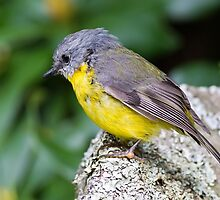 Eastern Yellow Breasted Robin by Bill  Robinson