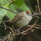 Mornin' !   - female Black cap by Rivendell7