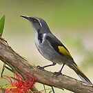 """ Crecent Honeyeater ""   Marlo Vic. by helmutk"