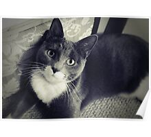 Russian Blue cross Poster