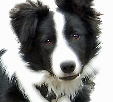 Border Collie Puppy - Ty by Furtographic